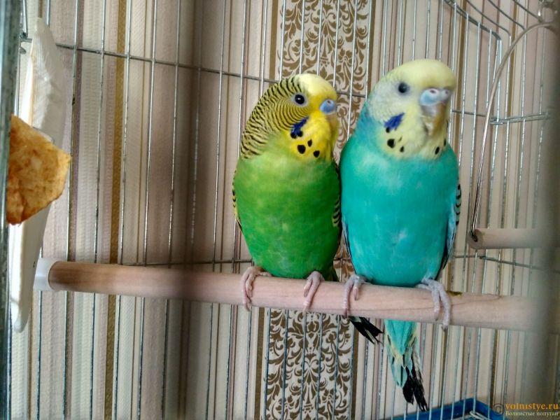 Почему у моего попугая ободранный хвост и крылья ? - IMG_20170118_144153_HDR.jpg