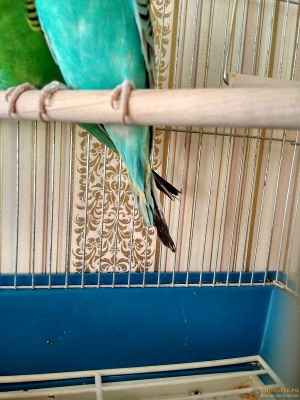 Почему у моего попугая ободранный хвост и крылья ? - IMG_20170118_144103_HDR.jpg