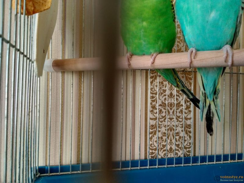 Почему у моего попугая ободранный хвост и крылья ? - IMG_20170118_145015_HDR.jpg