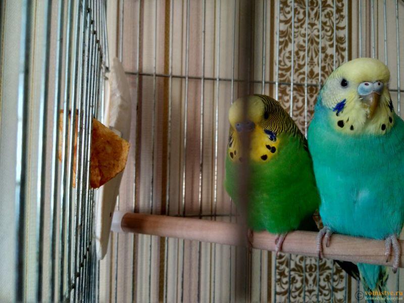 Почему у моего попугая ободранный хвост и крылья ? - IMG_20170118_151222_HDR.jpg