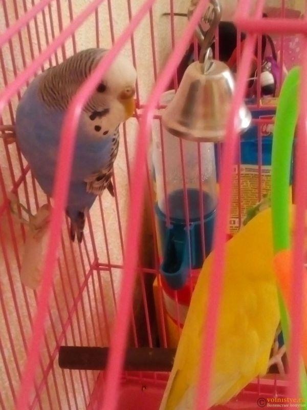Здравствуйте !  при покупке сказали что самец .. Почему потемнела восковица ? Птица активная , хорошо кушает и пьёт - 14856011208001374533581.jpg