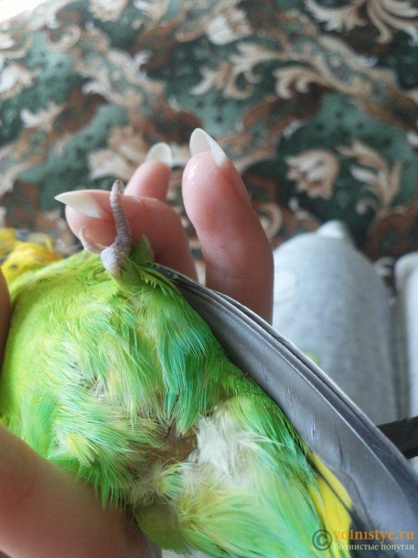 Re: жидкий помет, попугай начал хромать