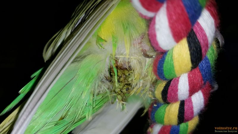 Помогите определить состояние моего попугайчика! - 20170227_184440.jpg