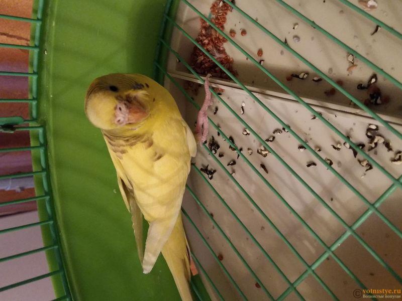 Помогите определить состояние моего попугайчика! - 20170301_195037.jpg