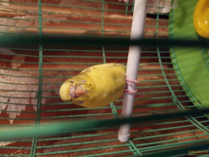 Помогите определить состояние моего попугайчика! - 20170301_191844.jpg