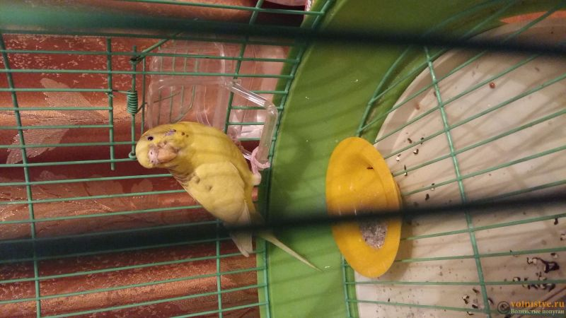 Помогите определить состояние моего попугайчика! - 20170301_191618.jpg