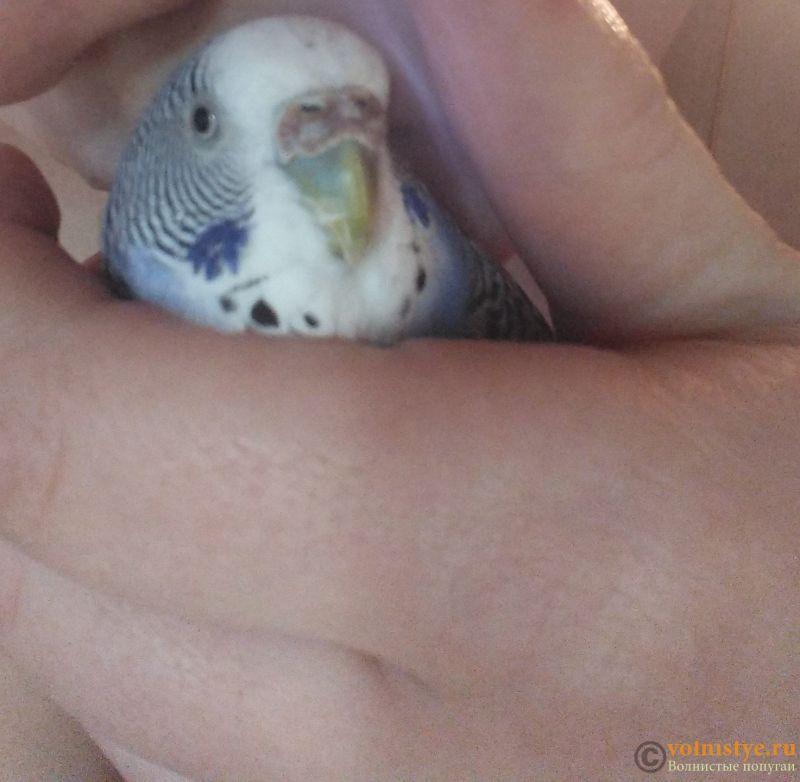 У попугая стала коричневой восковица. - IMG_20170314_190320~2.jpg