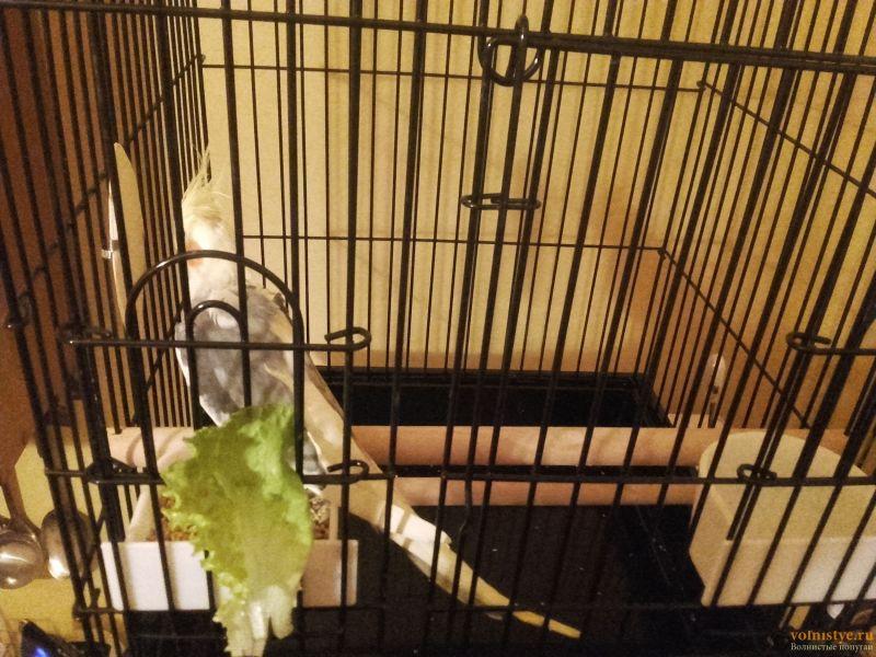 Попугай Корелла не ест 4 день с момента покупки - 20170322_195208.jpg