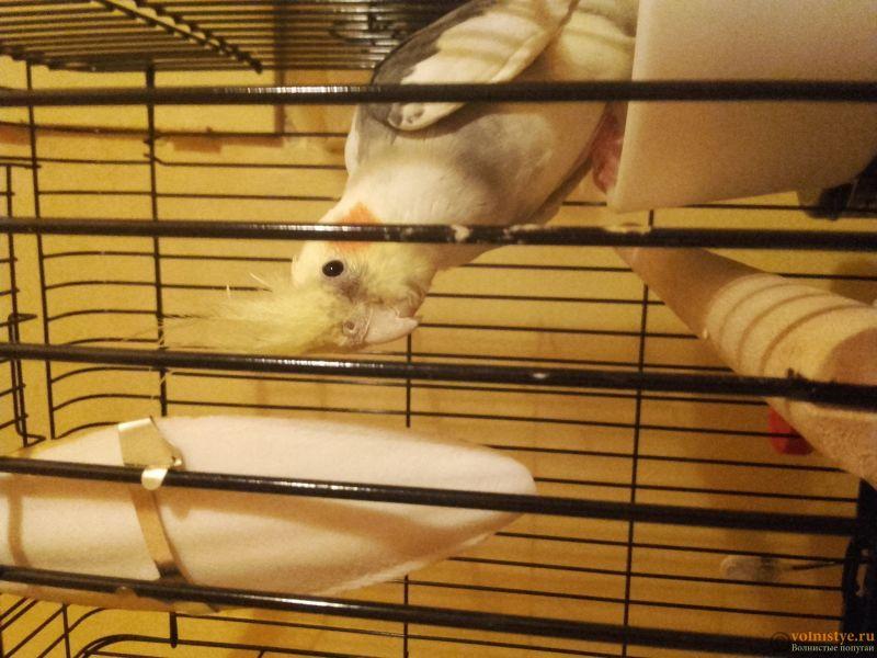Попугай Корелла не ест 4 день с момента покупки - 20170322_195548.jpg