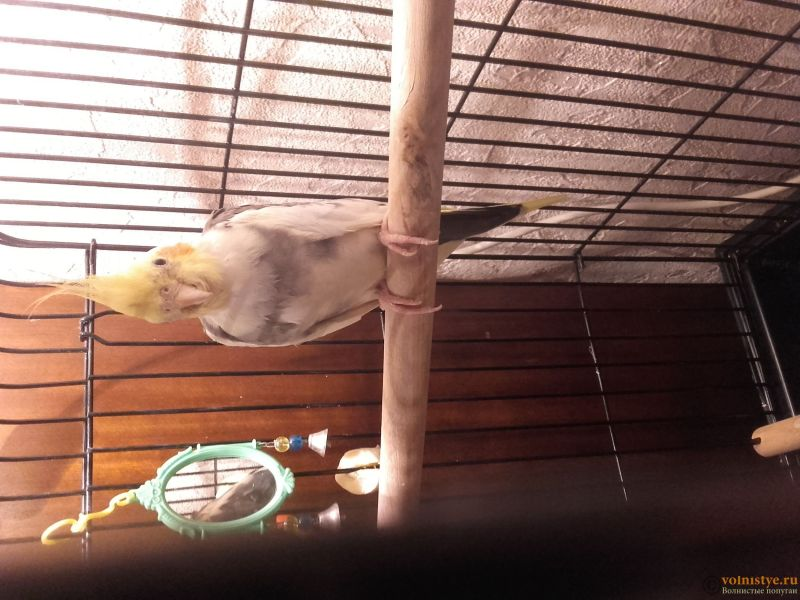 Попугай Корелла не ест 4 день с момента покупки - 20170323_075858.jpg