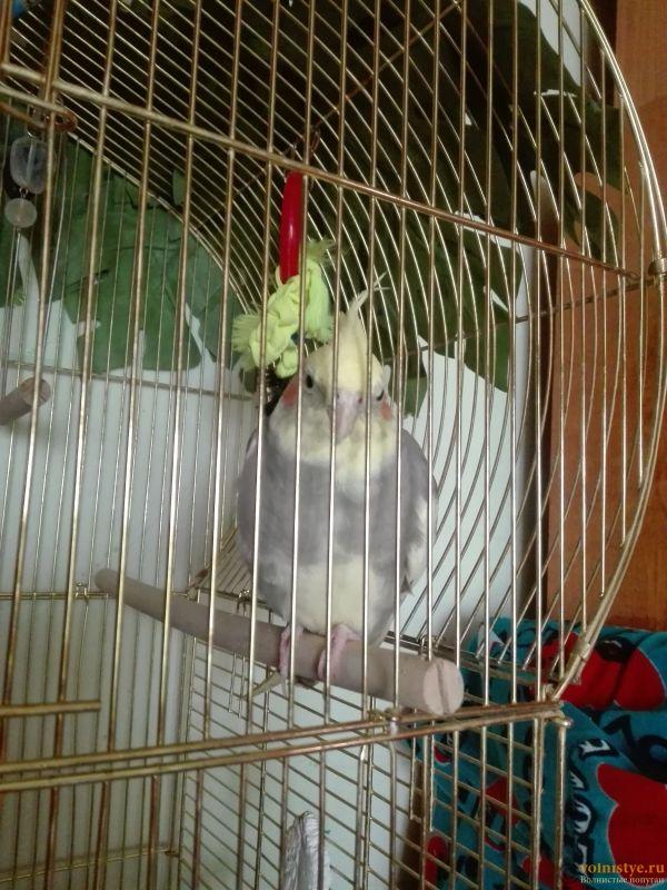 Определение пола и возраста попугаев корелла - 2017-03-24 13-07-06.JPG