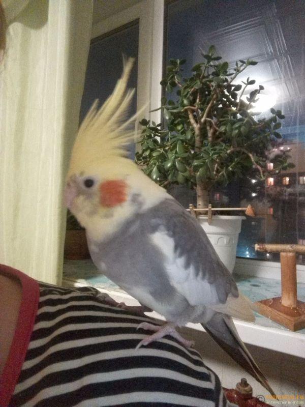 Определение пола и возраста попугаев корелла - 2017-03-21 20-09-33.JPG