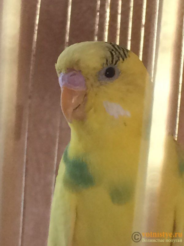 Попугай приболел - H2UizcwzHWk.jpg