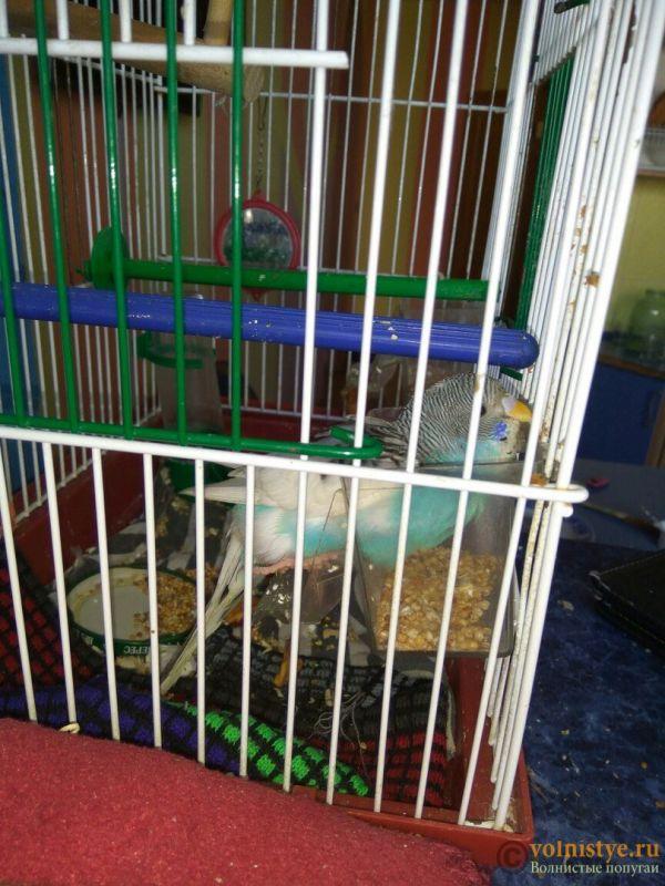 Отказали лапки у волнистого попугая - тош7.jpg