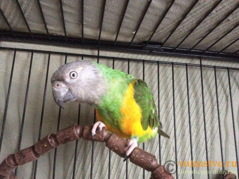Москва, Сенегальский попугай, выкормыш, 2 года - 01453d6d23b1d8-2.jpg