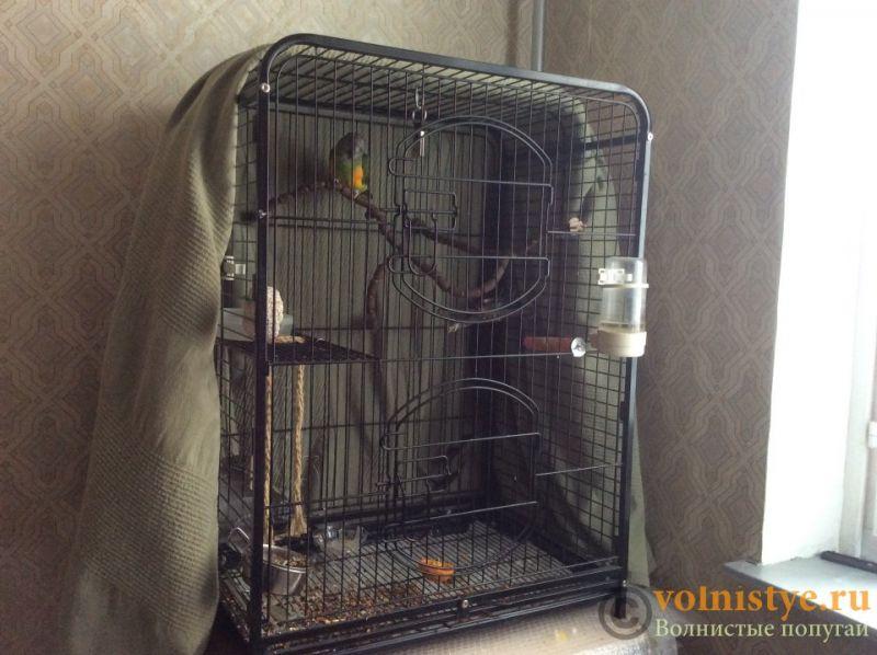 Москва, Сенегальский попугай, выкормыш, 2 года - 0749e59cff1eb6-2.jpg