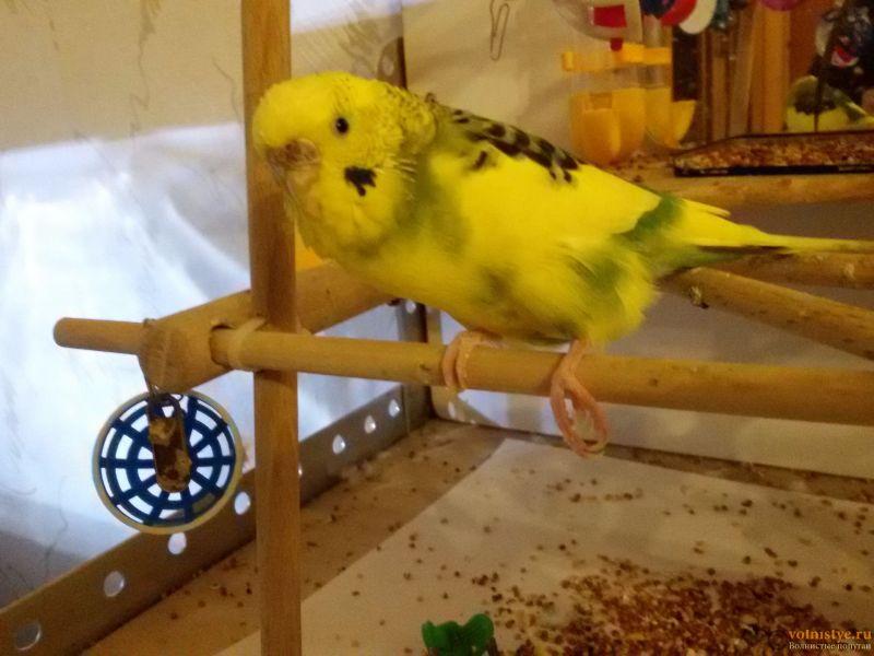 Травма лапы у волнистого попугая-2 - 20170416_214221.jpg