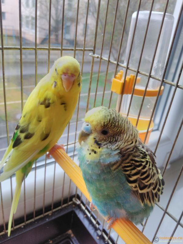 Попугаи волнистые приметы