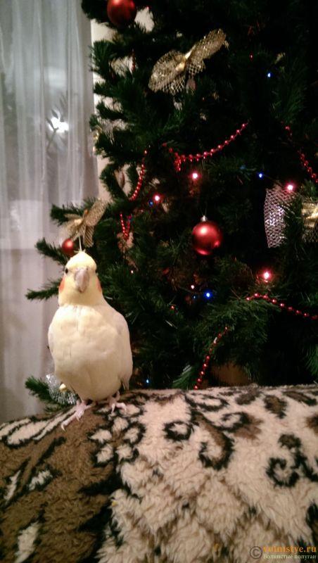 Определение пола и возраста попугаев корелла - IMAG7237.jpg