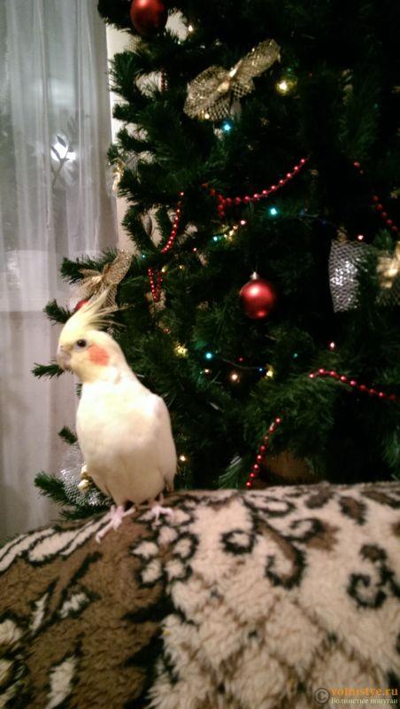 Определение пола и возраста попугаев корелла - IMAG7241.jpg