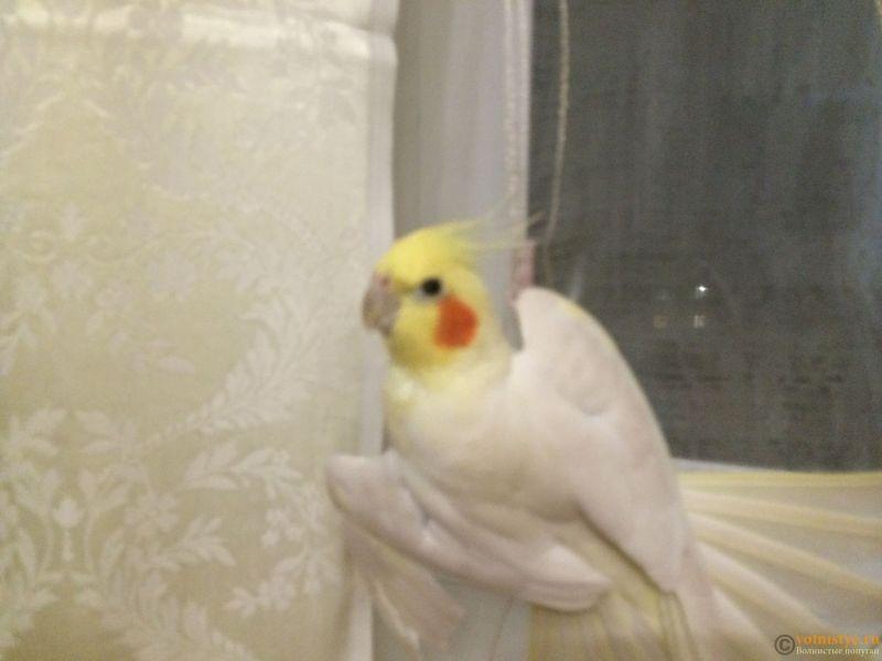 Определение пола и возраста попугаев корелла - image (4).jpeg