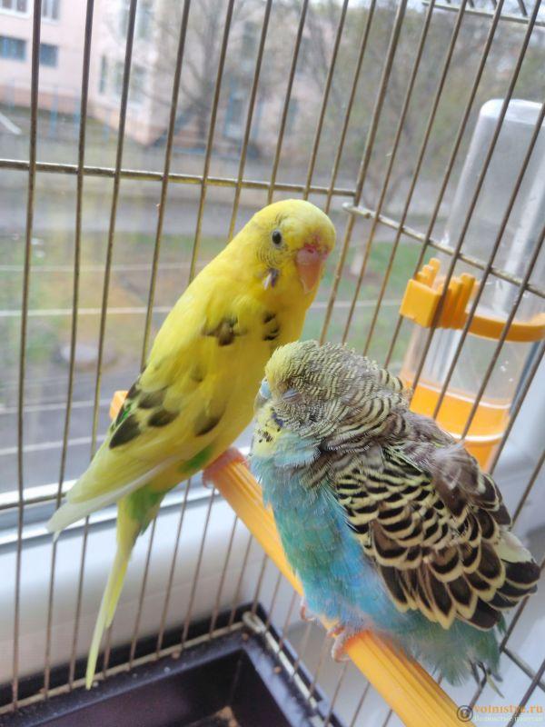 Подозрение на клещ у волнистого попугая - IMG_20170417_141153.jpg