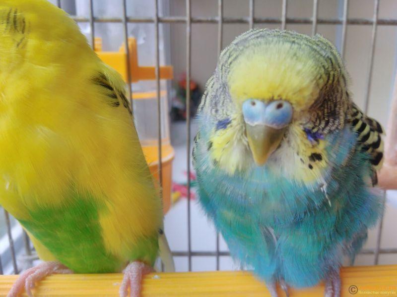 Подозрение на клещ у волнистого попугая - IMG_20170418_133632.jpg