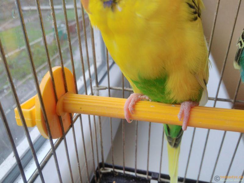 Подозрение на клещ у волнистого попугая - IMG_20170418_142328.jpg