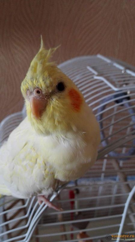 Определение пола и возраста попугаев корелла - IMG_20170422_112243.jpg
