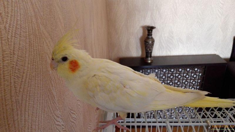 Определение пола и возраста попугаев корелла - IMG_20170422_112046.jpg