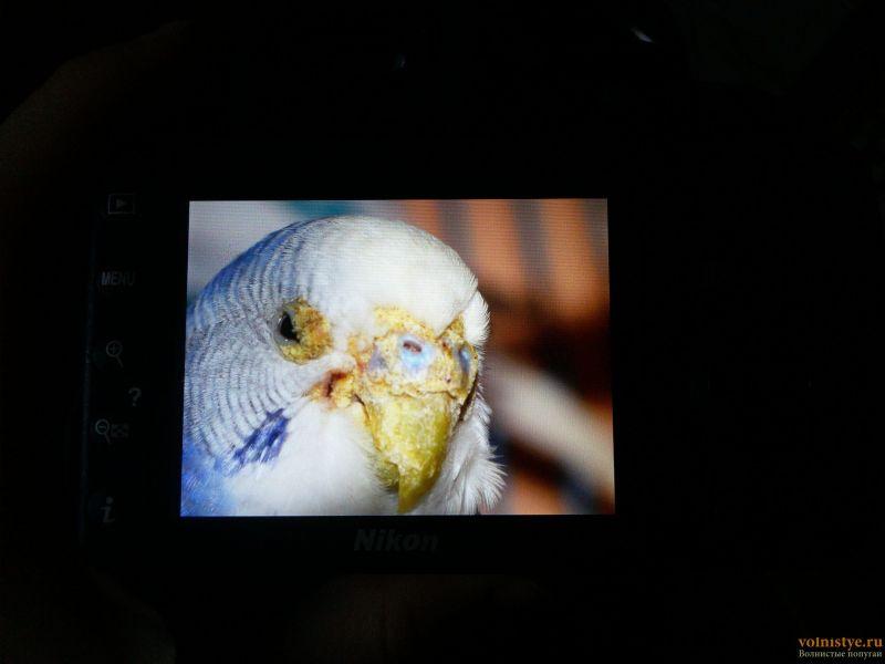 У попугая клещ? - 17-04-27-18-42-32-543_photo.jpg