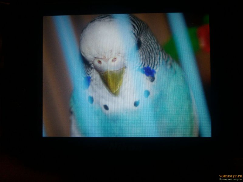 У попугая клещ? - 17-04-27-21-31-19-735_photo.jpg