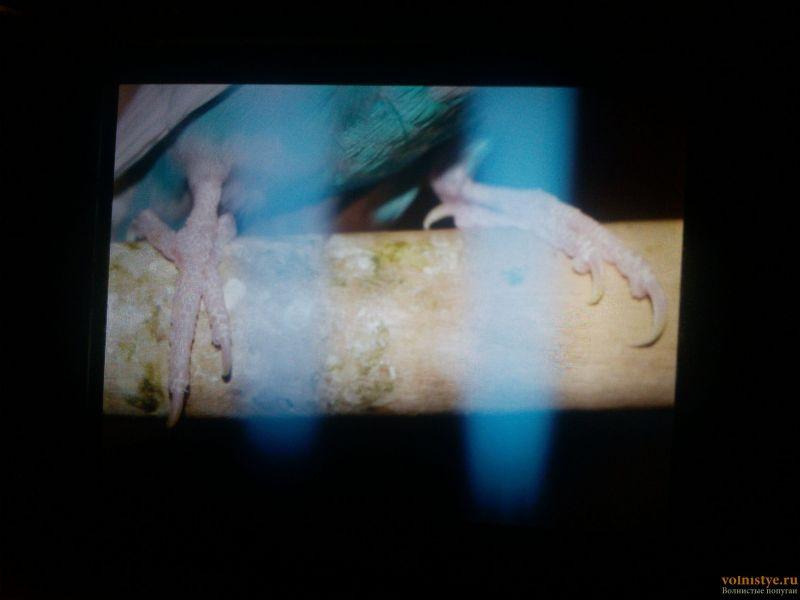 У попугая клещ? - 17-04-27-21-32-02-693_photo.jpg