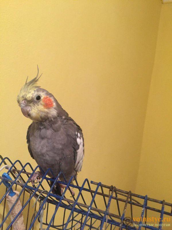 Определение пола и возраста попугаев корелла - IMG_0639.JPG