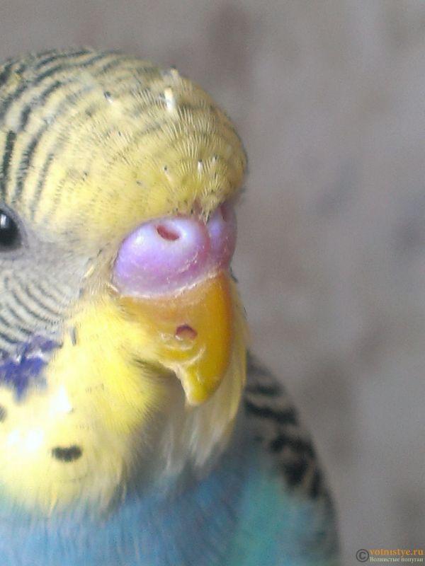Как узнать возраст попугая волнистого фото