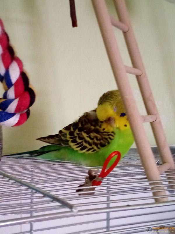 Волнистый попугай прячет