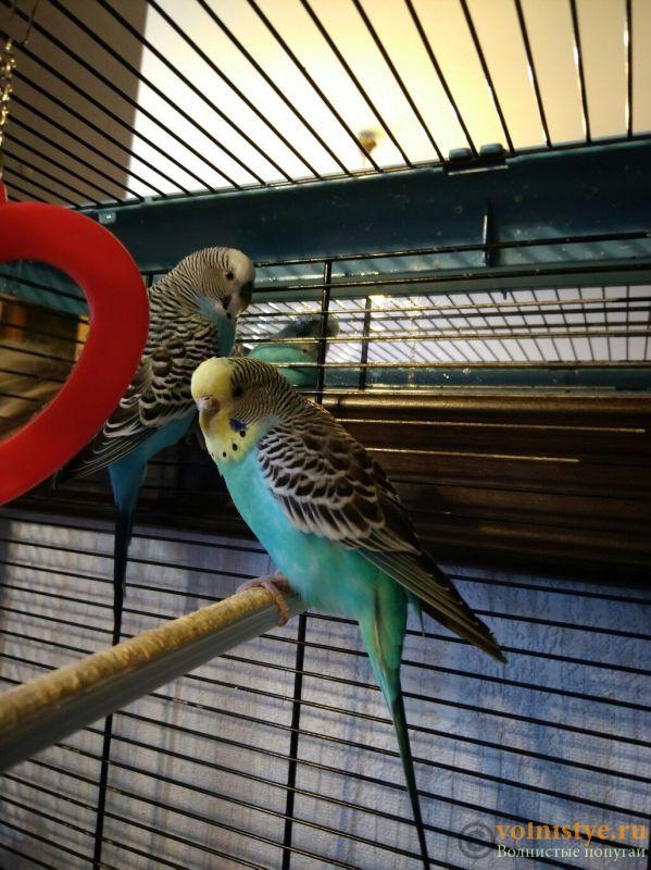 Продаю пару волнистых попугайчиков с клеткой - 6pPAL-nOiDw.jpg