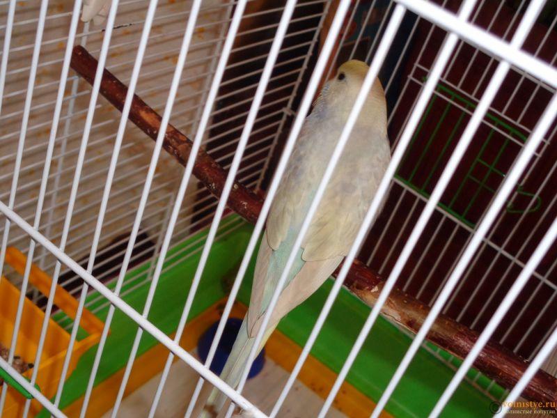 Окрасы волнистых попугаев - DSC01257.JPG