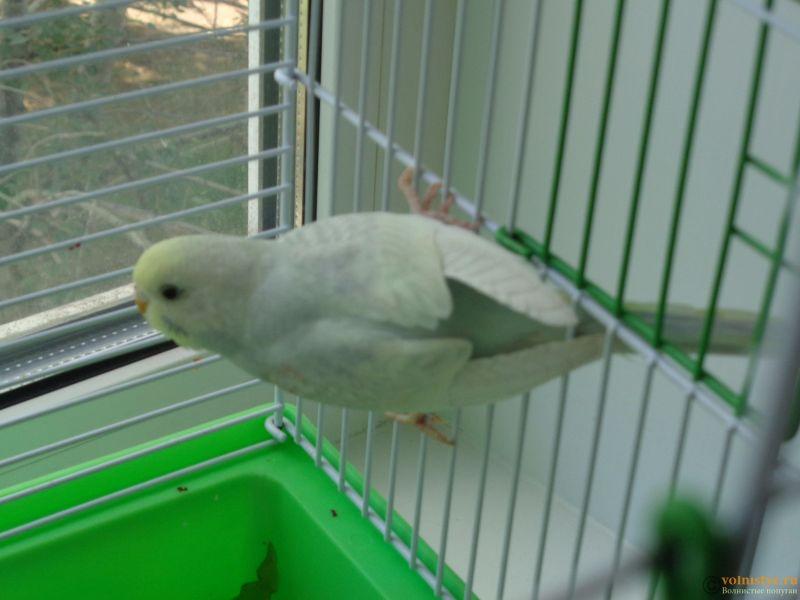 Окрасы волнистых попугаев - DSC01260.JPG