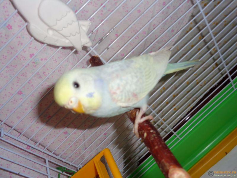 Окрасы волнистых попугаев - DSC01264.JPG