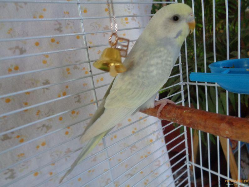 Окрасы волнистых попугаев - DSC01266.JPG