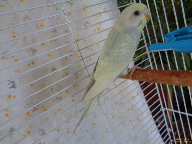 Окрасы волнистых попугаев - DSC01267.JPG