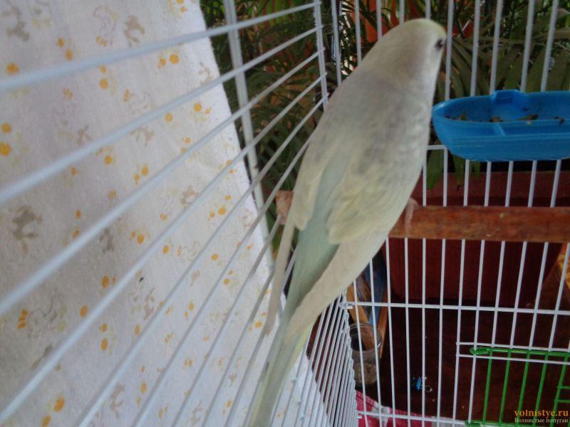 Окрасы волнистых попугаев - DSC01269.JPG