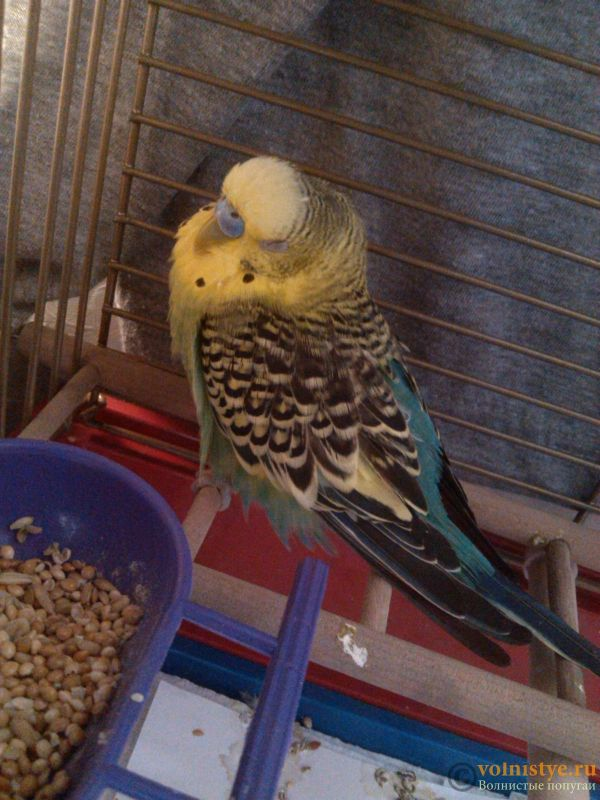 Попугай слаб, мало ест, все время спит и падает с жердочки - IMG_20170716_090212[1].jpg