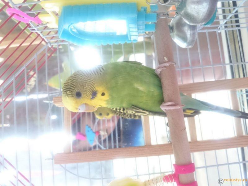 Определение пола и возраста попугаев № 10 - DSC_0002.JPG