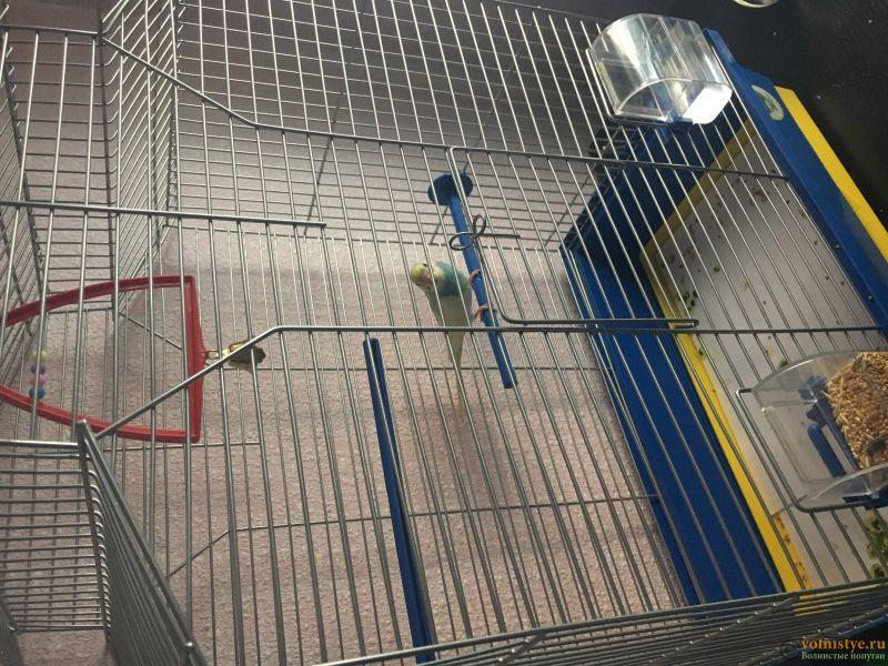 Волнистый попугайчик не ест и не пьёт уже 3 день после покупки, но сам он активный - IMG_4230.JPG