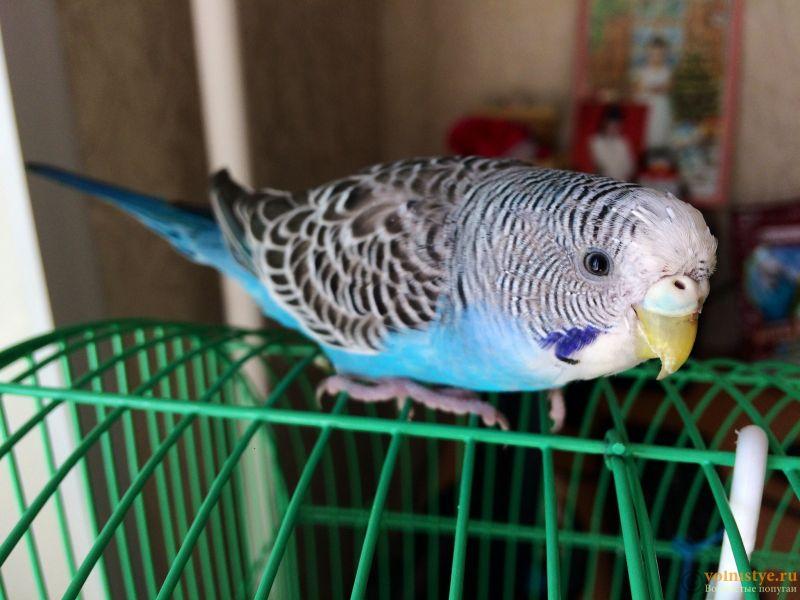 У попугая стала коричневой восковица. - gkIm22p68BU.jpg