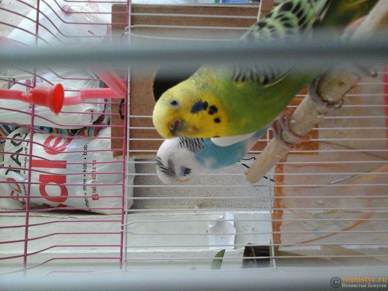 Определение пола и возраста попугаев № 10 - 15008880146021384935694.jpg