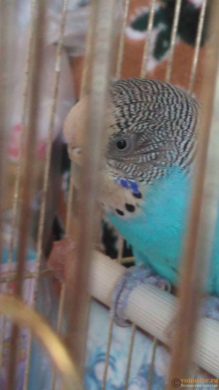 Попугай закрывает глаз и прищуривает - IMAG0322.jpg