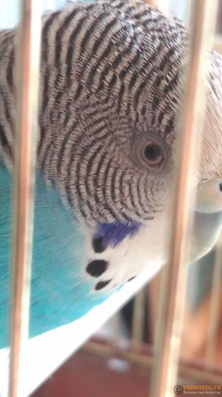 Попугай закрывает глаз и прищуривает - IMAG0321.jpg